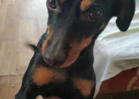 寻狗启示,寻coco宝贝,西三旗桥南走失,它是一只非常可爱的宠物狗狗,希望它早日回家,不要变成流浪狗。