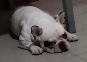 寻狗启示,白色法斗,于11月19日下午三点槐中路尖岭小区门口丢失,它是一只非常可爱的宠物狗狗,希望它早日回家,不要变成流浪狗。