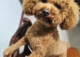 寻狗启示,石家庄西兆通寻狗启示,它是一只非常可爱的宠物狗狗,希望它早日回家,不要变成流浪狗。