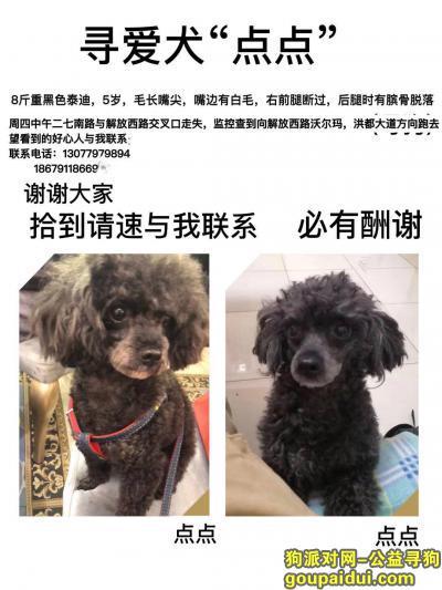 寻狗启示,5岁黑色泰迪,母狗,叫点点,它是一只非常可爱的宠物狗狗,希望它早日回家,不要变成流浪狗。