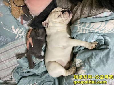 ,英国斗牛犬白色,胖子。体重在四五十斤左右,它是一只非常可爱的宠物狗狗,希望它早日回家,不要变成流浪狗。