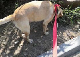 寻狗启示,寻找狗狗主人,只能暂养几天,它是一只非常可爱的宠物狗狗,希望它早日回家,不要变成流浪狗。