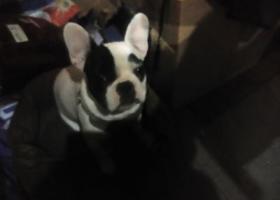 寻狗启示,一只想回家的黑白花牛牛,它是一只非常可爱的宠物狗狗,希望它早日回家,不要变成流浪狗。