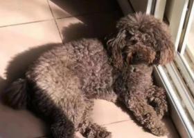 寻狗启示,北京白浮村创新路酬谢两千元寻找咖啡色泰迪,它是一只非常可爱的宠物狗狗,希望它早日回家,不要变成流浪狗。
