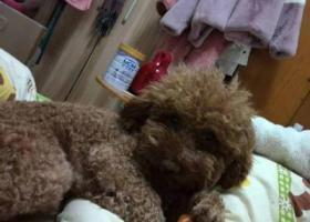 寻狗启示,拱墅区金星桃源居寻找棕色泰迪,它是一只非常可爱的宠物狗狗,希望它早日回家,不要变成流浪狗。