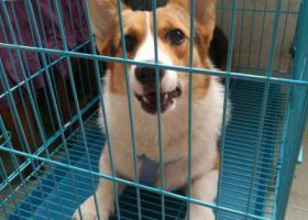 寻狗启示,一岁左右公柯基,中山北路,它是一只非常可爱的宠物狗狗,希望它早日回家,不要变成流浪狗。
