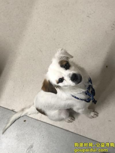 深圳捡到狗,11月21日下午在龙华区上河坊附近捡到一只小公狗,它是一只非常可爱的宠物狗狗,希望它早日回家,不要变成流浪狗。