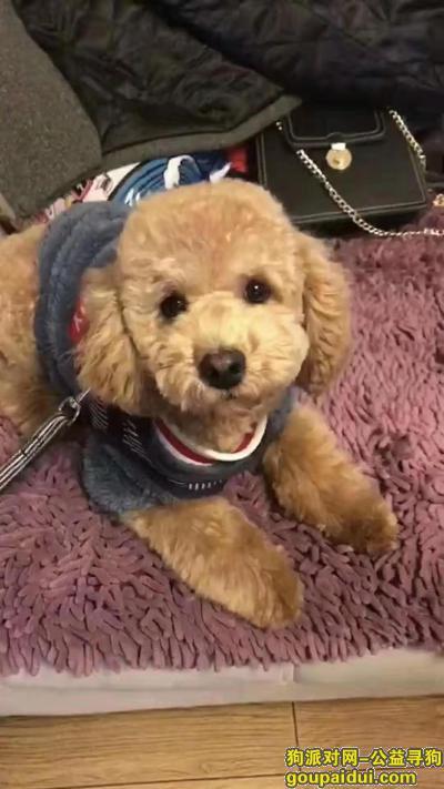 甘孜寻狗启示,浅棕色泰迪在康定百三巷跑丢,它是一只非常可爱的宠物狗狗,希望它早日回家,不要变成流浪狗。