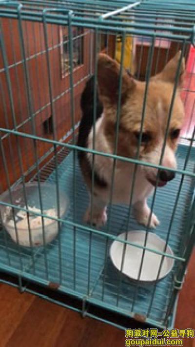 常州寻狗启示,2019年11.30号,今天花园捡到一只柯基犬,希望找到主人,它是一只非常可爱的宠物狗狗,希望它早日回家,不要变成流浪狗。
