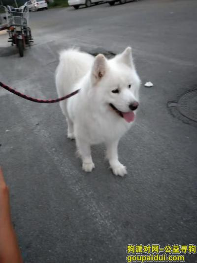 鞍山寻狗启示,白色萨摩在职教城丢失,它是一只非常可爱的宠物狗狗,希望它早日回家,不要变成流浪狗。