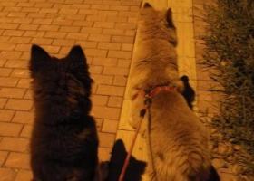 寻狗启示,寻找一只阿拉斯加狗狗,它是一只非常可爱的宠物狗狗,希望它早日回家,不要变成流浪狗。