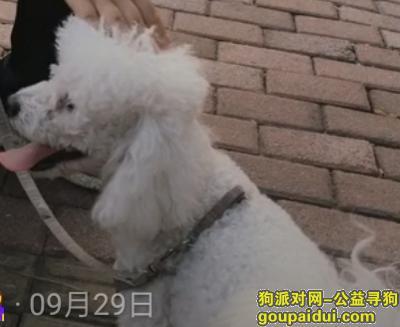 日照找狗,有没有凤凰庄那一块的人见到过一只相泰迪的比熊犬,它是一只非常可爱的宠物狗狗,希望它早日回家,不要变成流浪狗。