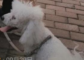 寻狗启示,有没有凤凰庄那一块的人见到过一只相泰迪的比熊犬,它是一只非常可爱的宠物狗狗,希望它早日回家,不要变成流浪狗。