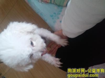 许昌找狗,小比熊 于12、1日晚上走丢,它是一只非常可爱的宠物狗狗,希望它早日回家,不要变成流浪狗。