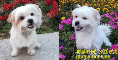 ,11月27日在道滘白鹭村走失白棕小泰迪狗,它是一只非常可爱的宠物狗狗,希望它早日回家,不要变成流浪狗。