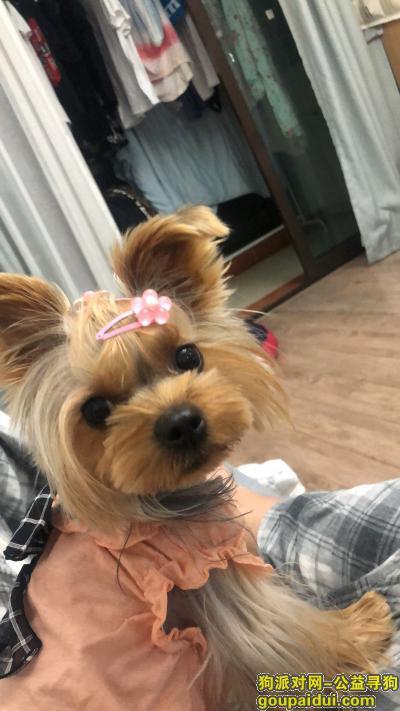 寻狗启示,12.1上海浦东惠南镇德盈佳园走失一只约克夏,它是一只非常可爱的宠物狗狗,希望它早日回家,不要变成流浪狗。