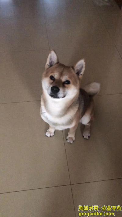 【北京找狗】,成年柴犬走失,寻到愿5000元达谢。,它是一只非常可爱的宠物狗狗,希望它早日回家,不要变成流浪狗。
