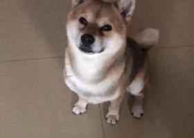 寻狗启示,成年柴犬走失,寻到愿5000元达谢。,它是一只非常可爱的宠物狗狗,希望它早日回家,不要变成流浪狗。
