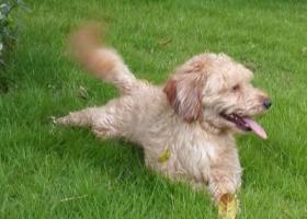 寻狗启示,咖啡色串串走失,希望早点回家,它是一只非常可爱的宠物狗狗,希望它早日回家,不要变成流浪狗。