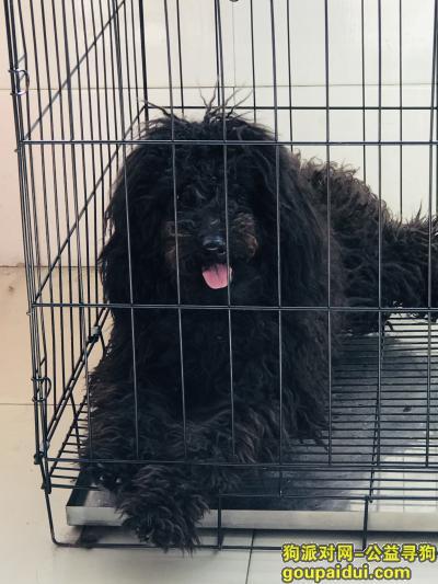 温州找狗,黑色公泰迪狗狗叫免费,感情相当深厚,吃的比人还好,它是一只非常可爱的宠物狗狗,希望它早日回家,不要变成流浪狗。