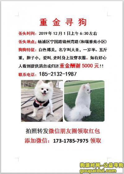 上海杨浦区宁国路锦州湾路酬谢五千元寻找博美,它是一只非常可爱的宠物狗狗,希望它早日回家,不要变成流浪狗。
