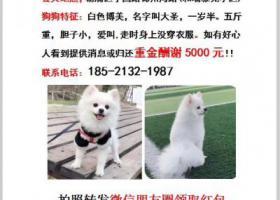 寻狗启示,上海杨浦区宁国路锦州湾路酬谢五千元寻找博美,它是一只非常可爱的宠物狗狗,希望它早日回家,不要变成流浪狗。