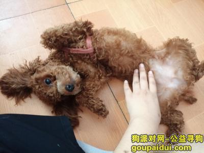 ,找狗一只棕色的母泰迪犬,它是一只非常可爱的宠物狗狗,希望它早日回家,不要变成流浪狗。