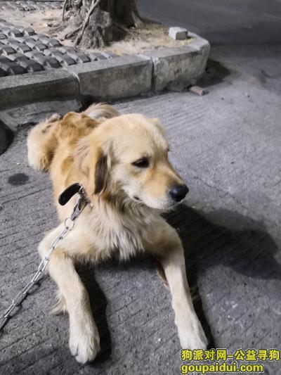 ,龙岗新生仙人岭捡到公金毛,它是一只非常可爱的宠物狗狗,希望它早日回家,不要变成流浪狗。