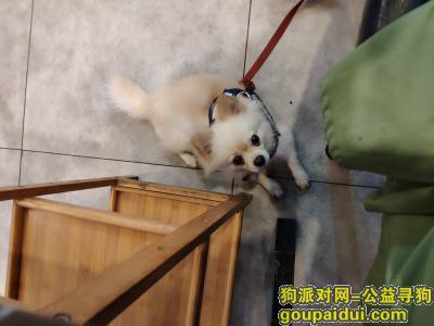 寻狗启示,天心区林大路附近寻狗小博美,它是一只非常可爱的宠物狗狗,希望它早日回家,不要变成流浪狗。