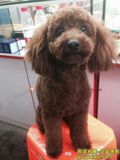 【杭州找狗】,找狗 找狗 找狗 贵宾犬,它是一只非常可爱的宠物狗狗,希望它早日回家,不要变成流浪狗。