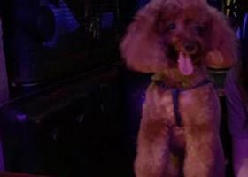 寻爱犬朵儿 8岁半!