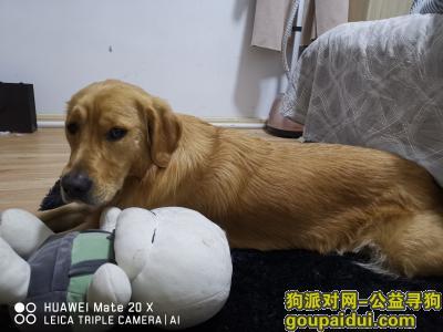 ,金毛公  左眼旁边有个小小疤,它是一只非常可爱的宠物狗狗,希望它早日回家,不要变成流浪狗。