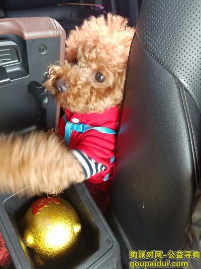 义乌找狗,【寻狗启示】义乌东付宅(浙四医院附近)12月9日下午走丢泰迪一只,它是一只非常可爱的宠物狗狗,希望它早日回家,不要变成流浪狗。