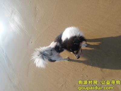 ,11月21号在福州市闽侯县青口镇丢失短腿串种黑白花狗一只。,它是一只非常可爱的宠物狗狗,希望它早日回家,不要变成流浪狗。