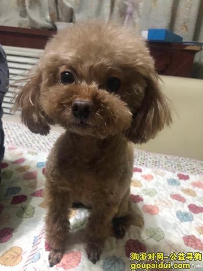 ,寻找小型棕色偏瘦泰迪,它是一只非常可爱的宠物狗狗,希望它早日回家,不要变成流浪狗。