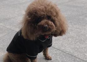 寻狗启示,合肥找狗丸子棕毛泰迪三岁在嘉山路附近丢失,它是一只非常可爱的宠物狗狗,希望它早日回家,不要变成流浪狗。