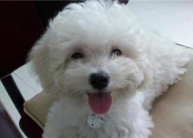 寻狗启示,灰衣白泰迪北一环白水坝附近【图片不是它】,它是一只非常可爱的宠物狗狗,希望它早日回家,不要变成流浪狗。