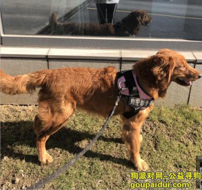 芜湖寻狗启示,丢失一只母金毛,九个月,颜色为枫叶红,尾巴和肚子上的毛比较长,它是一只非常可爱的宠物狗狗,希望它早日回家,不要变成流浪狗。