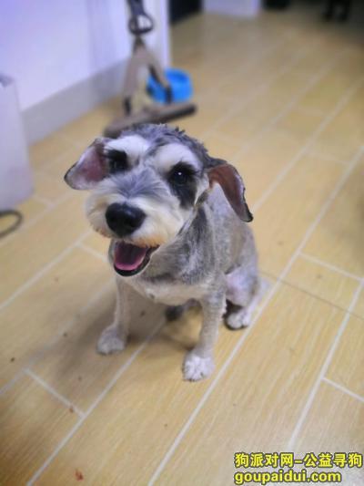 ,1000元寻雪纳瑞盐椒色公,它是一只非常可爱的宠物狗狗,希望它早日回家,不要变成流浪狗。