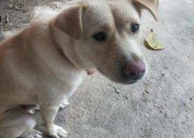 寻狗启示,寻狗启示(福州仓山区),它是一只非常可爱的宠物狗狗,希望它早日回家,不要变成流浪狗。