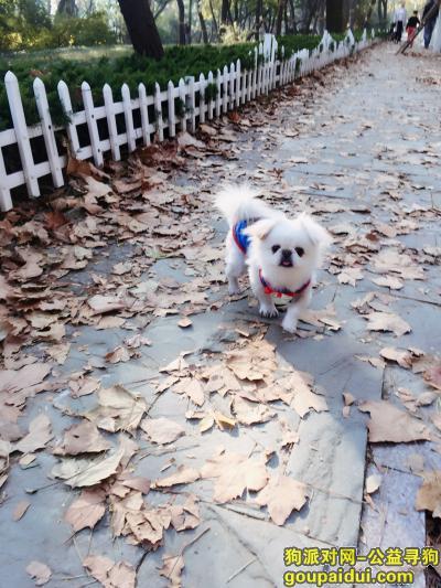 青岛丢狗,找小京巴狗 泉泉  12岁  白色   丢失穿银红色外套衣服,它是一只非常可爱的宠物狗狗,希望它早日回家,不要变成流浪狗。