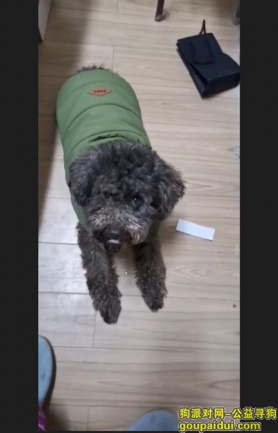 蚌埠寻狗启示,长得像大泰迪、不怕人,丢失穿一件衣服、上面有狗绳,它是一只非常可爱的宠物狗狗,希望它早日回家,不要变成流浪狗。