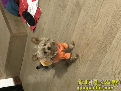 安庆寻狗,十二月十四日安庆纺织南路锅圈食汇门口丢失一只小约克夏,,它是一只非常可爱的宠物狗狗,希望它早日回家,不要变成流浪狗。