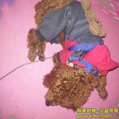 义乌捡到狗,捡到一只棕色泰迪狗 希望主人看到前来认领,它是一只非常可爱的宠物狗狗,希望它早日回家,不要变成流浪狗。