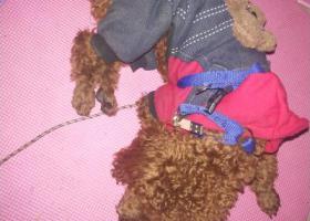 寻狗启示,捡到一只棕色泰迪狗 希望主人看到前来认领,它是一只非常可爱的宠物狗狗,希望它早日回家,不要变成流浪狗。