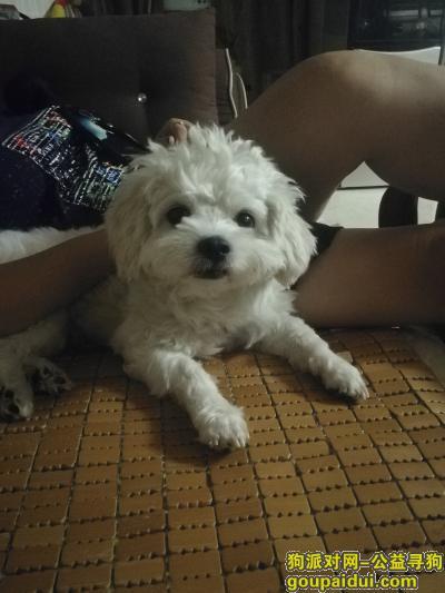 柳州找狗,找柳南区航银路的白色小狗!!,它是一只非常可爱的宠物狗狗,希望它早日回家,不要变成流浪狗。