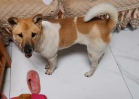 寻狗启示,海珠区赤岗附近流浪狗,它是一只非常可爱的宠物狗狗,希望它早日回家,不要变成流浪狗。