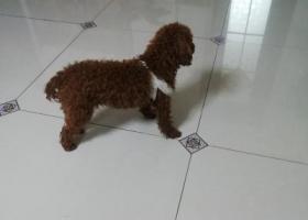 寻狗启示,东丽湖丢失1岁棕色泰迪,它是一只非常可爱的宠物狗狗,希望它早日回家,不要变成流浪狗。