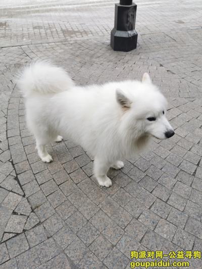 12.19晚上出去找母狗就没回来了 大白,它是一只非常可爱的宠物狗狗,希望它早日回家,不要变成流浪狗。