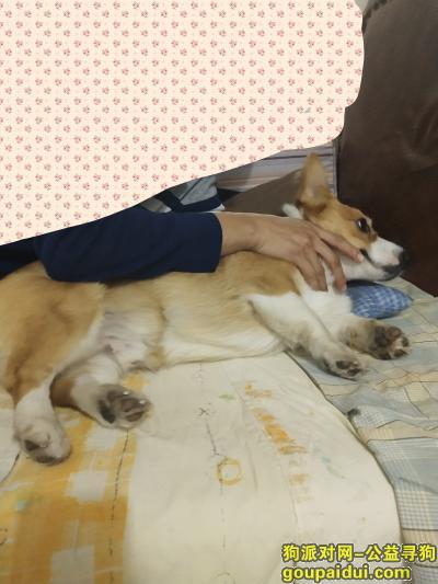 寻爱犬柯基,走失于铁西区兴工街,有重谢,它是一只非常可爱的宠物狗狗,希望它早日回家,不要变成流浪狗。